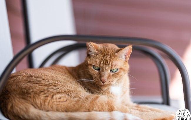 Orange cat on a lawn chair